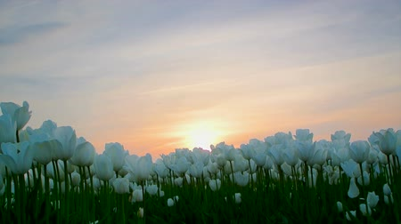 canteiro de flores : Field of white tulips dancing in the wind at the end of a lovely spring day. The sun is setting in the background. The camera is sliding past the tulips. Vídeos