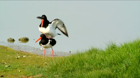 páření : Two Oystercatchers mating with water in the background. Slow motion.