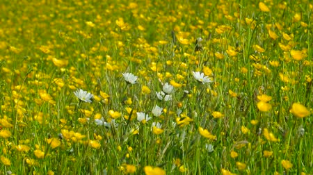 sarı papatya : Daisy and Buttercup flowers moving in the wind on a spring day.