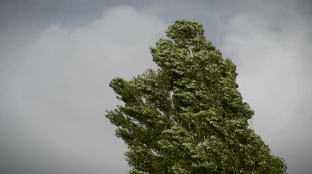populus : Black poplar (Populus nigra) blowing in a strong wind during an autumn storm. Stock Footage