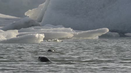 pecsét : Wild Seal swimming between icebergs floating in the Jokulsarlon galcier lagoon in Iceland. Stock mozgókép