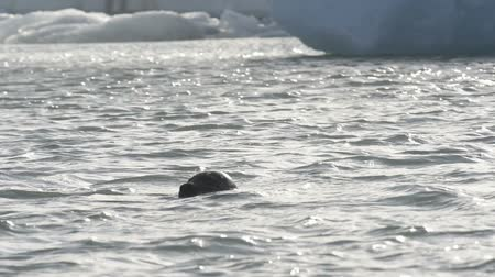 winter place : Wild Seal swimming between icebergs floating in the Jokulsarlon galcier lagoon in Iceland. Stock Footage