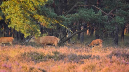 cervus elaphus : Red Deer Stag and Hind grazing in a heather field during a sunset in autumn.