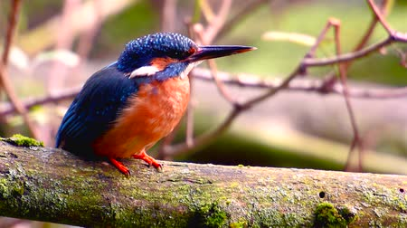 nó : Female Common Kingfishers (Alcedo atthis),  also known as the Eurasian Kingfisher or River Kingfisher sitting on a branch with flowing water in the background. Vídeos