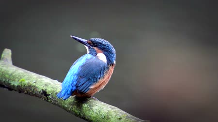 atthis : Common Kingfishers (Alcedo atthis), also known as the Eurasian Kingfisher or River Kingfisher sitting on a branch and looking around.