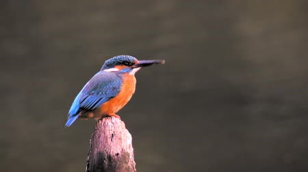 birds flying : Common Kingfisher bird (Alcedo atthis), also known as the Eurasian Kingfisher or River Kingfisher sitting on a pole and flying away in the end.