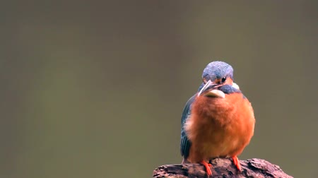 atthis : Female Common Kingfishers (Alcedo atthis),  also known as the Eurasian Kingfisher or River Kingfisher sitting on a branch with flowing water in the background. Stock Footage