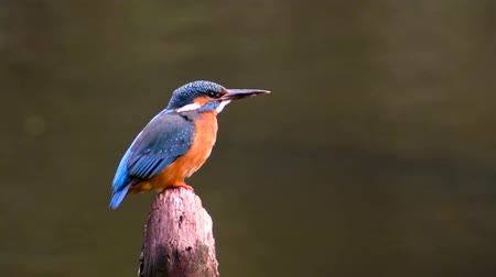 nó : Common Kingfisher (Alcedo atthis) also known as the Eurasian Kingfisher or River Kingfisher sitting on a pole and flying away. Vídeos