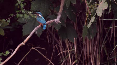 atthis : Common Kingfisher (Alcedo atthis) also known as the Eurasian Kingfisher or River Kingfisher sitting on a branch and diving in the water to clean its feathers. Stock Footage