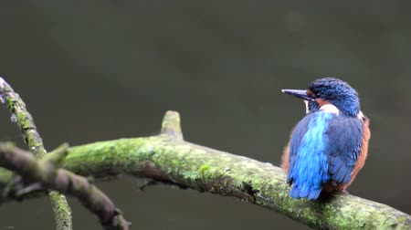 nó : Common Kingfisher (Alcedo atthis),  also known as the Eurasian Kingfisher or River Kingfisher sitting on a branch and looking around. Vídeos