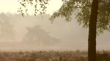 dub : Early morning sunlight through an Oak tree in a blossoming heather field. Dostupné videozáznamy
