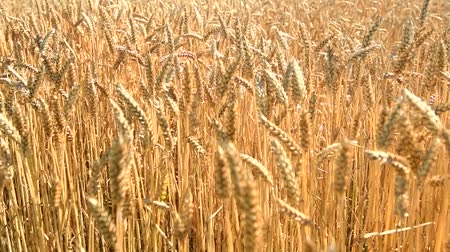 Wheat field caressed by the wind while the camera moves over the golden ripe ears of wheat. Slow motion clip.