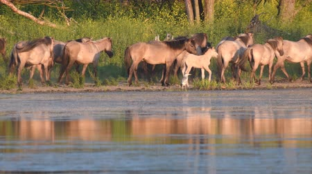 Флеволанд : Wild horses next to a lake in a nature reserve during sunset. The Konik horse or Polish primitive horse is a small, semi-feral horse, originating in Poland.
