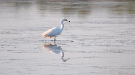 nemes kócsag : Great egret (Ardea alba), also known as the common egret, large egret or (in the Old World) great white heron.