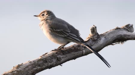 Флеволанд : White wagtail juvenile bird (Motacilla alba) sitting on a branch and polishing its feathers.