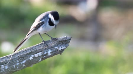 Флеволанд : White wagtail bird (Motacilla alba) sitting on a branch and polishing its feathers.