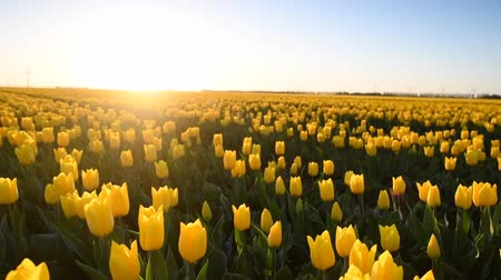tulipany : Yellow tulips in a field during a beautiful spring sunset in Holland.