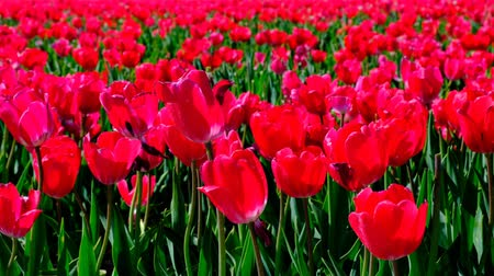 tulipany : Red tulips in a field with during a beautiful spring day in Holland. Wideo