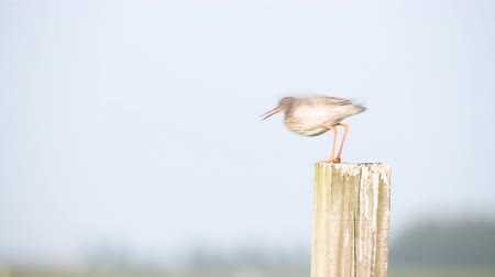 breeding season : Redshank or Common Redshank sitting on a pole overlooking a meadow during a springtime day.