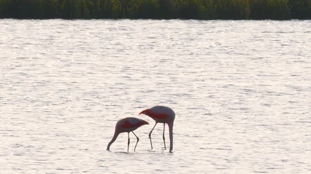 flamingi : Pair of Chilean flamingo birds wading in shallow water during sunset looking for food. Wideo
