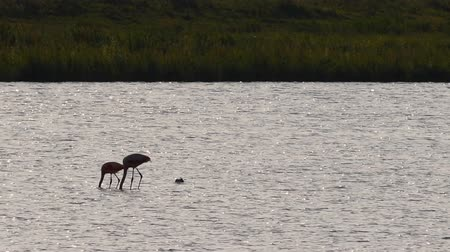 brodění : Pair of Chilean flamingo birds wading in shallow water during sunset looking for food. Dostupné videozáznamy