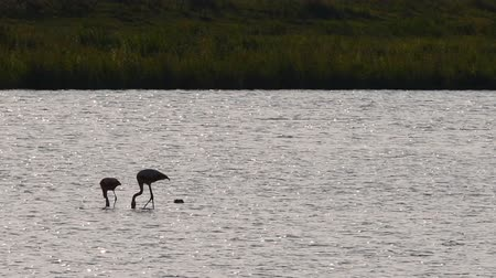 chilean flamingo : Pair of Chilean flamingo birds wading in shallow water during sunset looking for food. Stock Footage