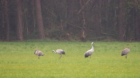 běžný : Common Cranes or Eurasian Cranes (Grus Grus) birds feeding in corn fields during migration to the South in the fall. Slow motion clip at half speed.