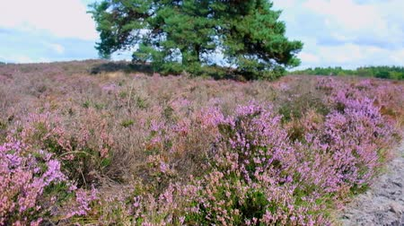 вереск : Heathland landscape with blooming Heather plants in during a summer day. Стоковые видеозаписи