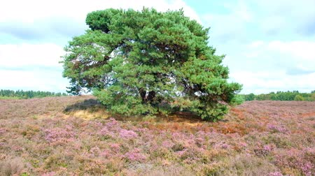 вереск : Walking in a Heathland landscape with blooming Heather plants in during a summer day. Стоковые видеозаписи