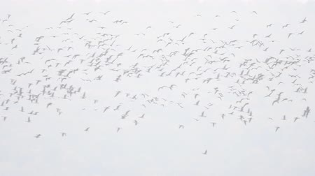 bean goose : Flock of geese flying in the air during migration season in the fall. Large group of birds flying in slow motion.