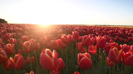 tulipan : Red and yellow tulips in a field during a beautiful spring sunset in Holland. Wideo