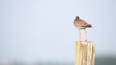 общий : Redshank or Common Redshank sitting on a pole overlooking a meadow during a springtime day.