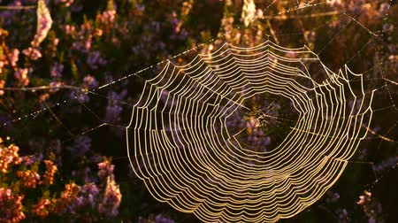 вереск : Spider's web in blossoming heather plants in early autumn morning light during sunrise. Стоковые видеозаписи