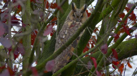 coruja : Long-eared owl (Asio otus) sitting high up in a tree with red colored leafs during a fall day.