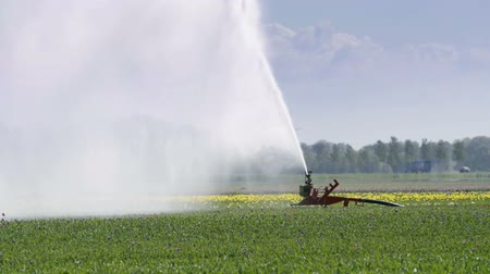 water cannon : Irrigation pivot gun machine spraying water on a Tulip field during a warm spring day. Stock Footage