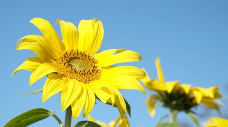 sunflower : Sunflower rocking in the wind with during a beautiful late summer afternoon with clear blue sky in the background. Stock Footage
