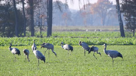 grua : Common Cranes or Eurasian Cranes (Grus Grus) birds resting and feeding in a field during migration to the South in the fall. Slow motion clip with two cranes flying away. Stock Footage