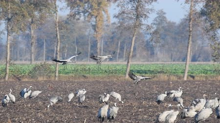 landing field : Common Cranes or Eurasian Cranes (Grus Grus) birds landing in a field where more cranes are resting and feeding in a field during migration Stock Footage
