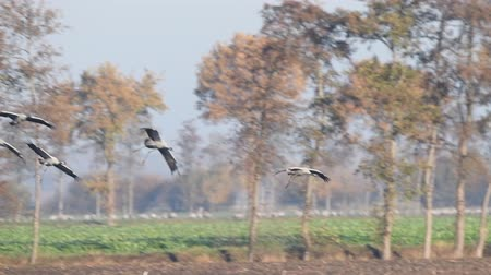 daha fazla : Common Cranes or Eurasian Cranes (Grus Grus) birds landing in a field where more cranes are resting and feeding in a field during migration Stok Video