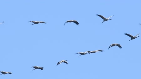 moor : Common Cranes flying in mid air in slow motion