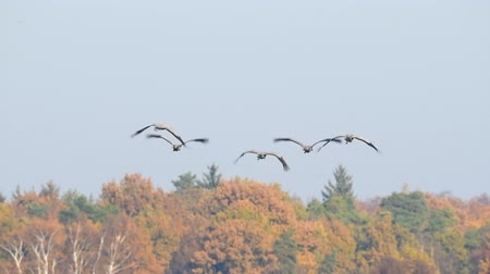 moor : Common Cranes flying in the air in slow motion