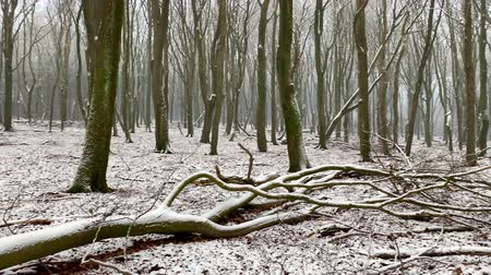 굽​​고 : Winter view in a Beech trees forest with dramatic shapes in a misty and snowy forest during a cold winter day