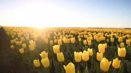 сады : Yellow tulips in a field during a beautiful spring sunset in Holland.