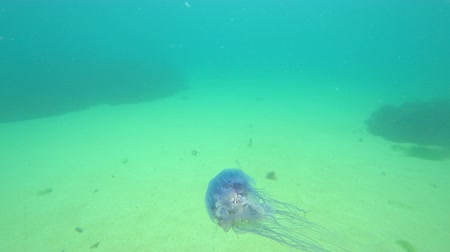 bretagne : Jellyfish in the sea