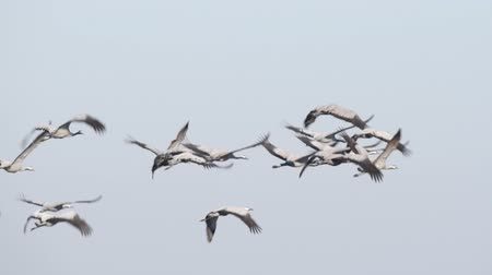 moor : Common Cranes or Eurasian Cranes (Grus Grus) flying in slow motion over a field during migration in autumn Stock Footage