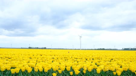 head over : Yellow tulips growing in a field during springtime in Holland with clouds moving fast over the field and wind turbines in the background. The camera is sliding.