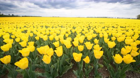 Флеволанд : Yellow tulips growing in a field during springtime in Holland with clouds moving fast over the field and wind turbines in the background.