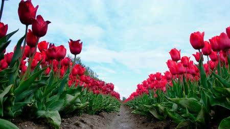 Флеволанд : Red tulips growing in a field during springtime in Holland. Low angle view with the camera sliding along the tulips Стоковые видеозаписи
