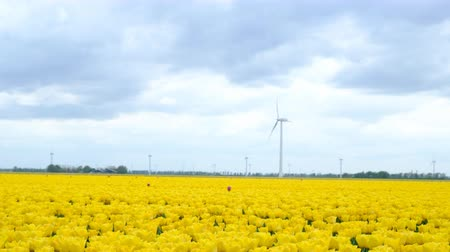 Флеволанд : Yellow tulips growing in a field during springtime in Holland with clouds moving fast over the field and wind turbines in the background. The camera is sliding.