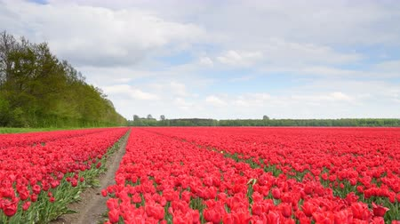 Флеволанд : Red tulips growing in a field during springtime in Holland with clouds moving over the field and forest in the background. Стоковые видеозаписи